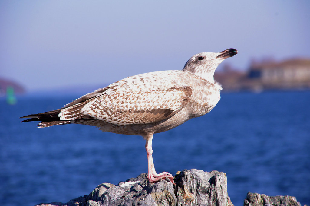 west coast gull